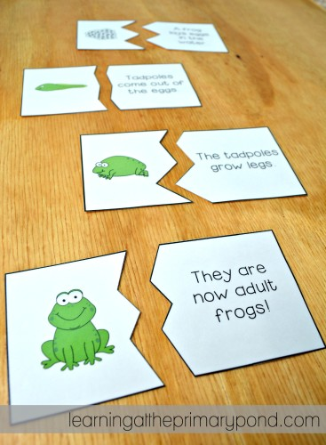 My Kindergarten and first grade students put together these frog life cycle puzzles and then explain the frog life cycle to a partner!